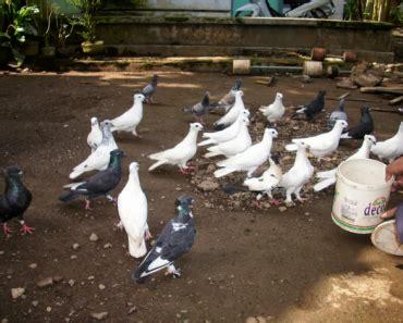 Harga Pakan Burung Merpati burung merpati pusat informasi untuk penghobi burung