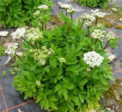Biji Benih Tanaman Herbal Temu Kunci biji tanaman herbal benih lovage