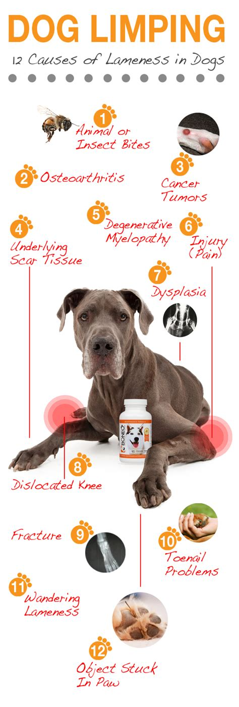 why is my limping limping top 12 causes of limping lameness in dogs boneo canine 174