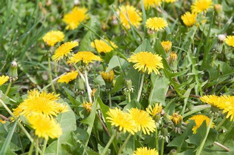 backyard weeds 18 edible backyard weeds with extraordinary health benefits