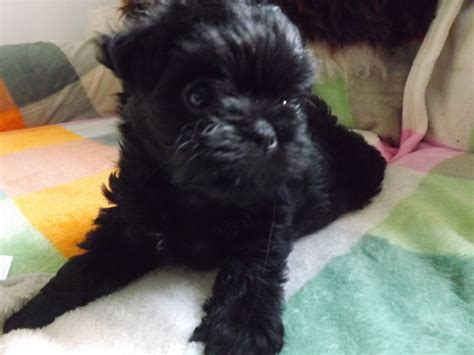 affenpinscher puppies for sale affenpinscher puppies for sale ashby de la zouch leicestershire pets4homes