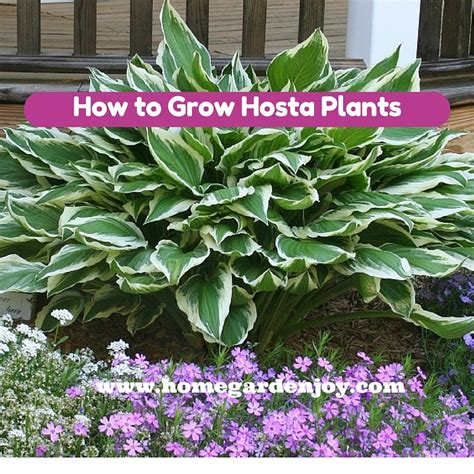 growing hosta home garden joy