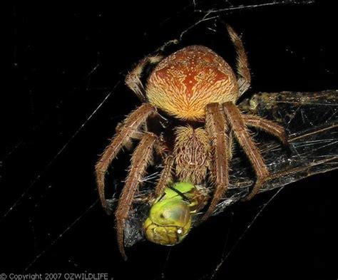 Garden Orb Weaver Garden Orb Weaver Spider Eriophora Transmarina