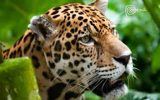 Jaguars Cat Jaguar The Big Cat Wallpapers Hd Wallpapers