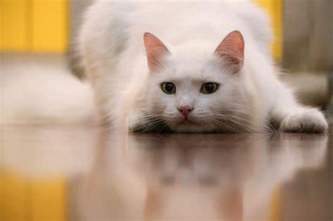 imagenes en blanco de gatos cuidados para un gato blanco