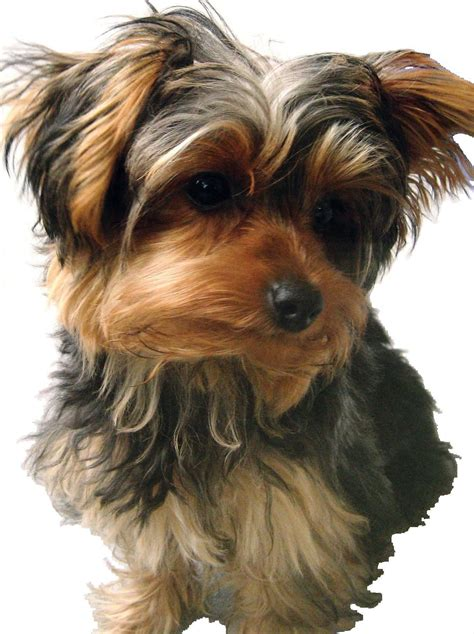 are yorkies with breed behaviors traits the terrier