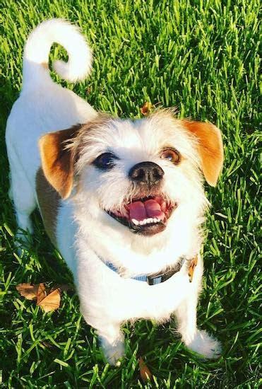 raising a shih tzu home breeds springer spaniel raising a healthy breeds picture