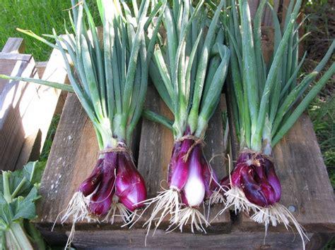 Biji Bunga Allium cara membuat bibit bawang merah dengan umbi dan biji