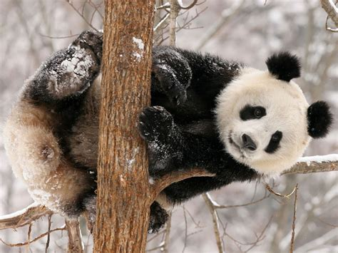 wallpaper desktop panda wallpapers funny panda wallpapers