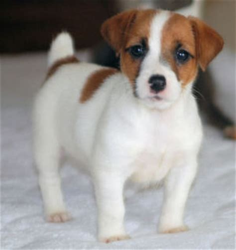 jrt puppies puppy dogs terrier puppies