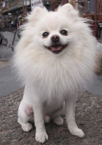types of pomeranian breeds best clippers and scissors to use for grooming your pup animal bliss