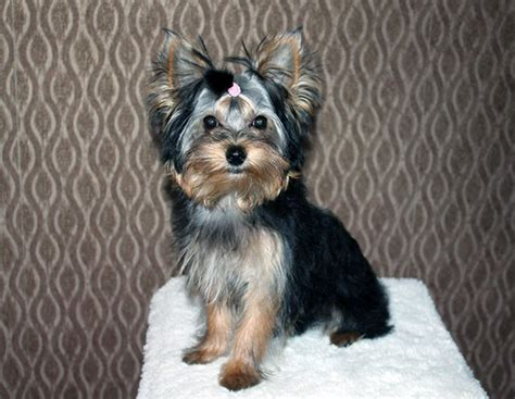 yorkie colors yorkie www pixshark images galleries with a bite