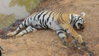 Tiger Area Rug Protect Tigers In India Globalgiving
