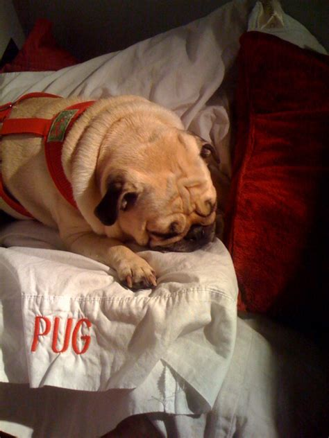 my pug has a cough so there is no confusion the pug