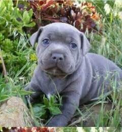 17 best images about staffies on pinterest staffordshire bull
