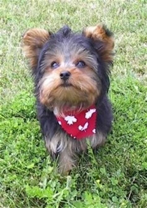 pancreatitis in yorkies terrier breed information and pictures yorkie