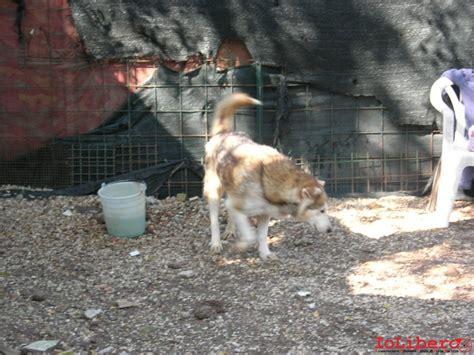 una preghiera per gli spiriti liberi tenuti nelle gabbie pin fuori dalle gabbie miele husky con occhi color