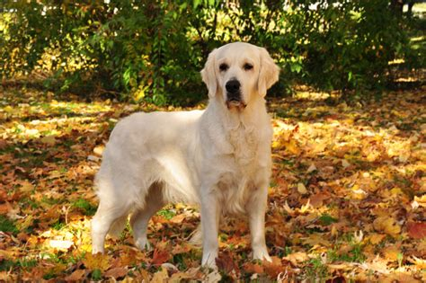 what breeds make a golden retriever breeds for busy families pets world