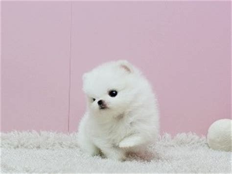 pomeranian puppies pittsburgh dogs pennsylvania free classified ads