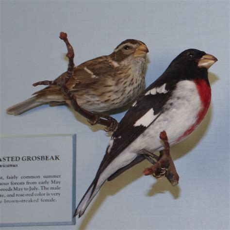 histories of american cardinals grosbeaks buntings towhees finches sparrows and allies order passeriformes family fringillidae literature cited and index classic reprint books breasted grosbeak birds of dc