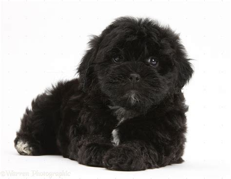 shih tzu poodle dogs black pooshi poodle x shih tzu pup photo wp18791