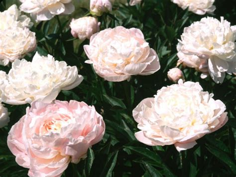 can peonies change color hgtv