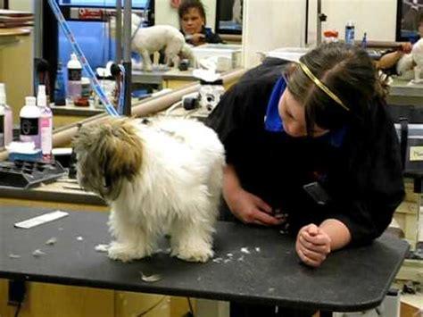 petsmart puppy trim huey getting a puppy cut at petsmart