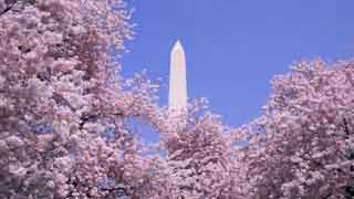 cherry tree 10 miler running the cherry blossom 10 miler here are our tips aol travel ideas