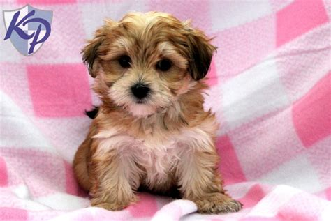 morkie puppies for sale indiana puppies for sale in ohio dogs for sale morkie personal