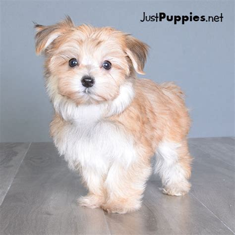 just puppies orlando fl puppies for sale orlando fl justpuppies net