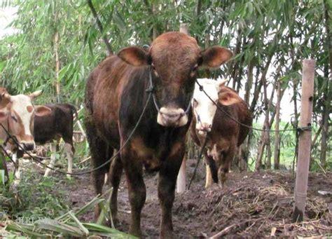 syarat membuat skck madiun kisah unik india bakal terbitkan ktp untuk hewan ternak