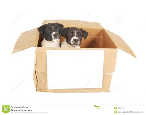 puppies in a box two puppies in a cardboard box royalty free stock photography image 9237347