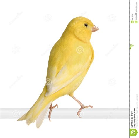 rhinelander canaries stock photo royalty yellow canary serinus canaria on its perch stock photo