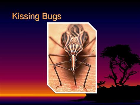How Can Bed Bugs Live Without Air by Ppt Insects Powerpoint Presentation Id 2260769