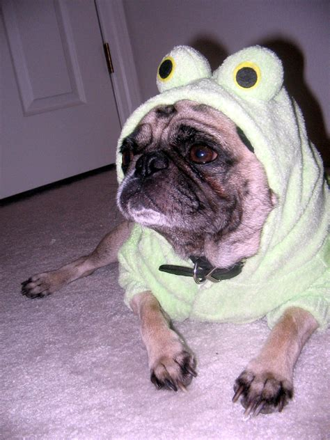 pug in clothes pugs in clothes dress the clothes for your pets