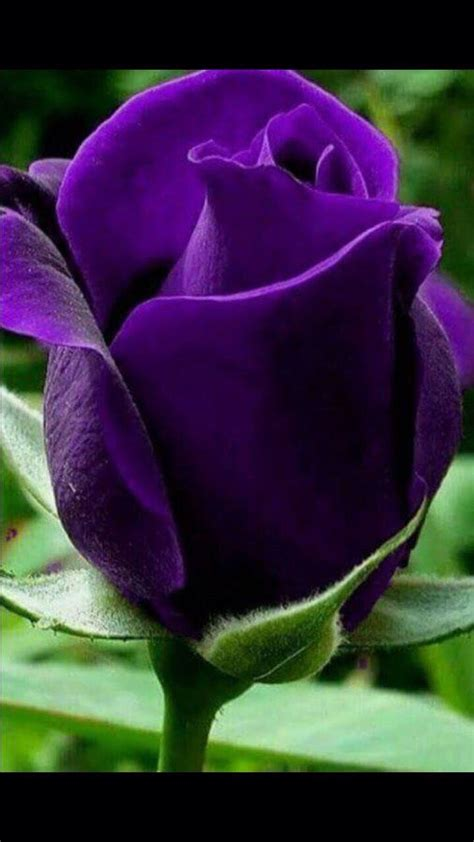 some roses and name on 70 beautiful purple flowers care growing tips