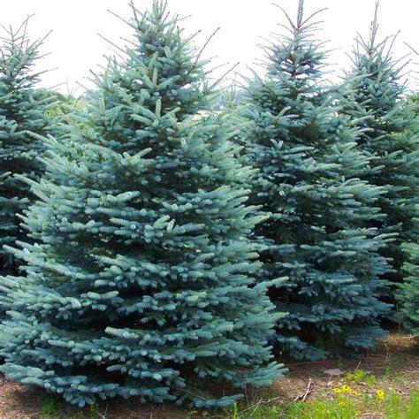 white spruce bark related keywords white spruce bark long tail keywords keywordsking