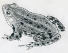 draw frog quickly