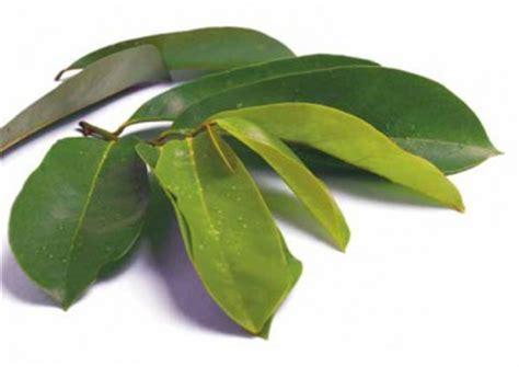 Obat Herbal Daun Sirsak obat herbal daun sirsak mengobati kanker sehatherba