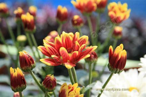 bukit flora agrowisata bunga pasuruan