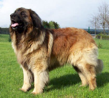 leonberger dogs leonberger info puppies temperament care pictures