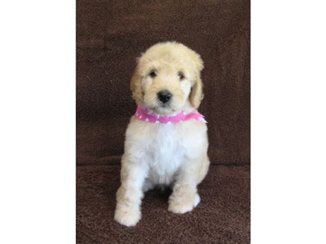 doodle puppies for sale florida puppies for sale goldendoodle goldendoodles f