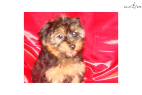 yorkie poo puppies for sale va yorkiepoo yorkie poo for sale for 450 near fredericksburg virginia 3903d279 9f01