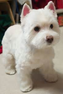 images of westie hair cuts dog grooming westie cut dog breeds picture