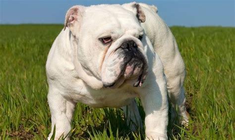 bulldog ingles imagenes bulldog ingles