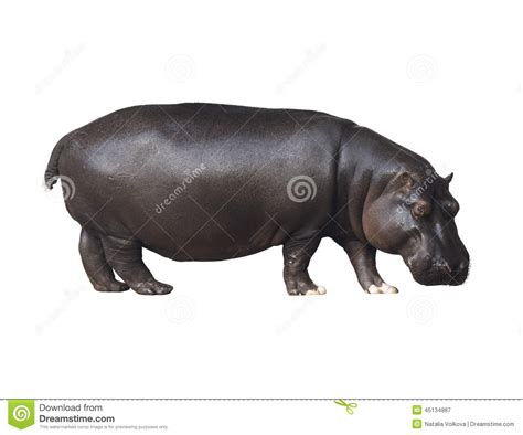 Hippopotamus In White Background hippo on a white background stock photo image 45134887