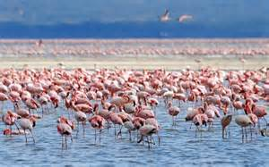 how do flamingos get their pink color flamingo behavior animal facts and information