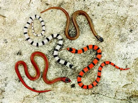 coral snake colors coral snake colors coral snake stock photos images pictures
