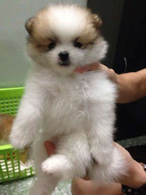 pomeranian fur types pomeranian puppies sold 4 years 6 months pomeranian parti color from seremban