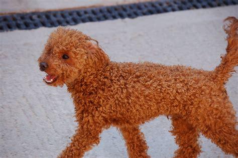 red toy red toy poodle tinyred toy poodle toy poodle 点力图库